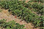 Reihen von Erdbeerpflanzen, DeVries Bauernhof, Fenwick, Ontario, Kanada