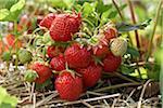 Reife Erdbeeren Pflanzen, DeVries Farm, Fenwick, Ontario, Kanada