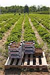 Récolte des fraises, Fenwick (Ontario), Canada