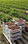 Strawberry Harvest, Fenwick, Ontario, Canada