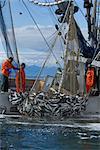 Gros plan des pêcheurs commerciaux senne tirant dans un filet complet de saumons roses et kéta, détroit de Chatham, près d'île de l'Amirauté, sud-est de l'Alaska, l'été