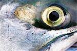 Gros plan de saumons de la rivière Newhalen, dans la région de la baie de Bristol, Iliamna, sud-ouest de l'Alaska, l'été