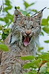 Lynx bâille à pleine dents et la langue sortie, Denali National Park & Preserve, intérieur de l'Alaska, l'été