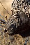 An African Buffalo, close-up headshot