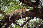 Un léopard couché sur une branche d'arbre, à la recherche de suite