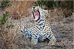 Ein weiblicher Leopard Gähnen