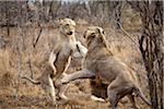Deux lions féminines jouant