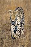 Un léopard marcher dans l'herbe
