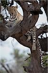 Un léopard couché dans les branches d'un arbre nu