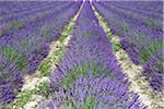 Kultivierte Lavendel wächst in einem Feld