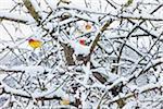 Pommier hiver