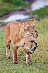 Lioness carrying cub (Panthera Leo), Maasai Mara National Reserve, Kenya