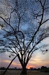 A silhouette of a tree at dawn, Okavango Delta, Botswana