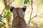 A rear view of a Leopard's head and shoulders, Okavango Delta, Botswana