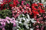 Petunias, Hong Kong
