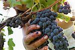 Travailleur récolte des raisins, recadrées