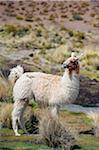Lama en Amérique du Sud, Bolivie, sur l'altiplano