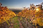 Italy, Umbria, Perugia district. Autumnal Vineyards near Montefalco