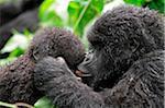 Gorilles de montagne jeune toilettage mutuellement, groupe Dridou, Mt Gahinga, Parc National des volcans, Rwanda.