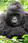 Gorille des montagnes de femelles adultes assis sous la pluie, groupe Dridou, Mt Gahinga, Parc National des volcans, Rwanda.