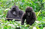 Young mountain gorilla watched by its mother, Kwitonda Group, Mt Gahinga, Volcanoes National park, Rwanda.
