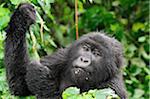 Adult mountain gorilla holding onto vine, Kwitonda Group, Mt Gahinga, Volcanoes National park, Rwanda.