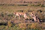 Cheetah  and cubs stalking prey on the short-grass plains of the Ndutu region, Serengeti National Park, Tanzania.