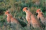 Cheetah and cubs on the short-grass plains of the Ndutu region, Serengeti National Park, Tanzania.