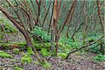 Arbutus Trees, Reginald Hill, Salt Spring Island, British Columbia, Canada