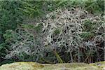 Lichen-festooned Garry Oak Trees, Reginald Hill, Salt Spring Island, British Columbia, Canada