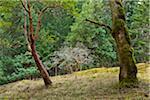 Garry Oak and Arbutus Trees, Reginald Hill, Salt Spring Island, British Columbia, Canada