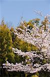 Fleur de la cerise à Arashiyama, Kyoto, Japon
