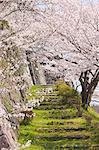Fleur de cerisier à l'ancien château de Sasayama, préfecture de Hyogo, Japon