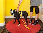 Woman measuring dog's waist