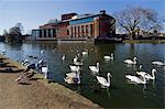 Theatre and swans on the River Avon, Stratford upon Avon, Warwickshire, England, United Kingdom, Europe