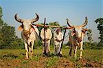 Agriculteurs de labourer les champs de tabac (Nicotiana) avec traditionnel charrue et bovins (Ankole-Watus), Gujarat, Inde, Asie