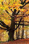 Beech tree with autumn colours, Lake District, Cumbria, England, United Kingdom, Europe