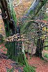 Autumnal woodland scene near Grasmere, Lake District National Park, Cumbria, England, United Kingdom, Europe