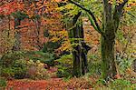 Woodland in fine display of autumn colour, Lake District, Cumbria, England, United Kingdom, Europe
