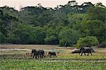 Elephants and spotted deer at twilight in Kumana National Park, formerly Yala East, Kumana, Eastern Province, Sri Lanka, Asia