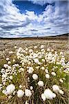 Linaigrette dans le marécage, Parc National des Cairngorms, Scottish Highlands, Ecosse