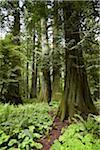 Forest, MacMillan Provincial Park, Vancouver Island, British Columbia, Canada