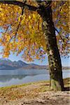 Tree in Autumn, Kochelsee, Kochel am See, Bad Tolz-Wolfratshausen, Upper Bavaria, Bavaria, Germany