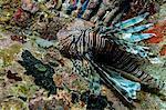 Lionfish in Unnatural Habitat