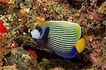 Emperor angelfish, Maldives