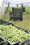 Kommissionierung Bio grüne Bohnen