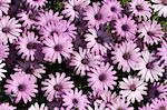 light purple garden chrysanthemums as floral background