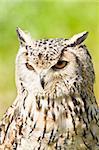 Siberian Eagle Owl or Bubo bubo sibericus - Eagle owl with lighter colored feathers
