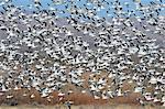 Snow geese in winterrange