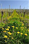 Vineyard with Dandelions in Spring, Hagnau, Baden-Wurttemberg, Germany